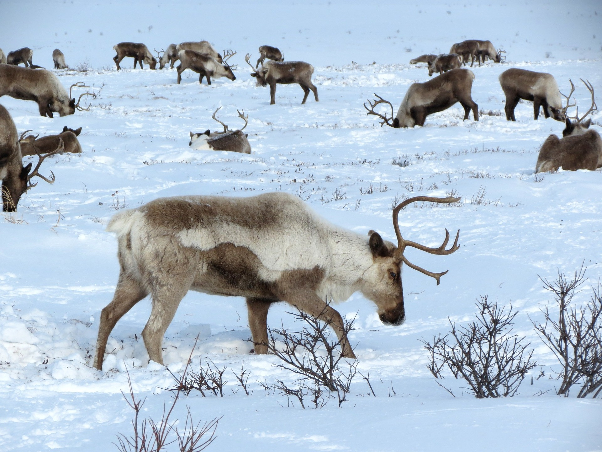 East iceland reindeer - what to do