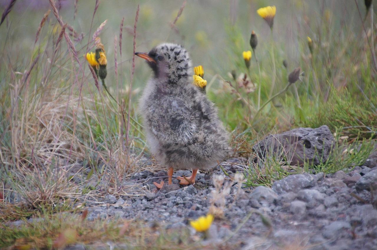 Mývatn bird life