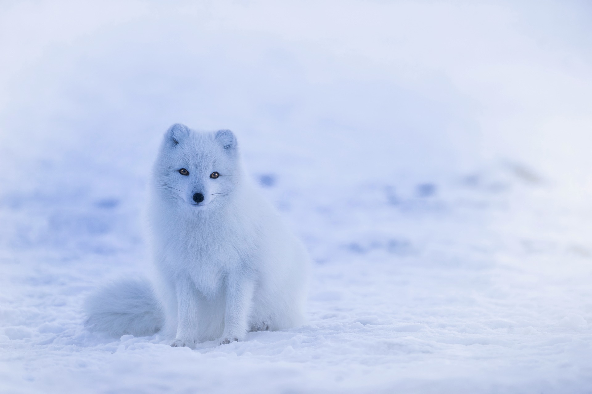 white arctic fox in the snow